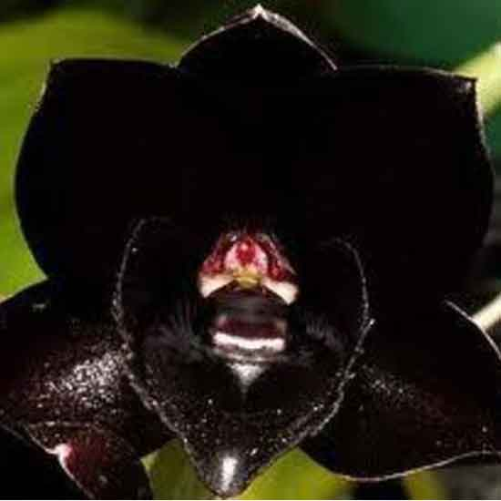 Black Orchid