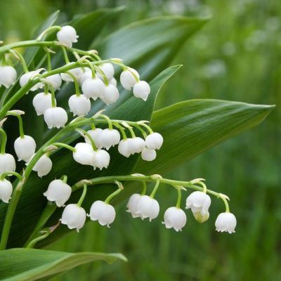 Lily of the Valley & Ivy