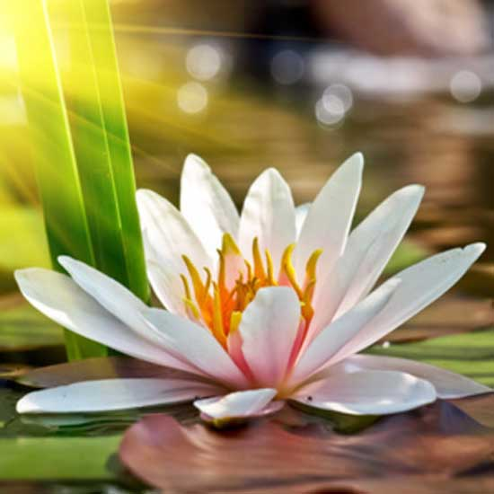 Lotus flowerfragrance oil candle creations lotus flower fragrance oil mightylinksfo