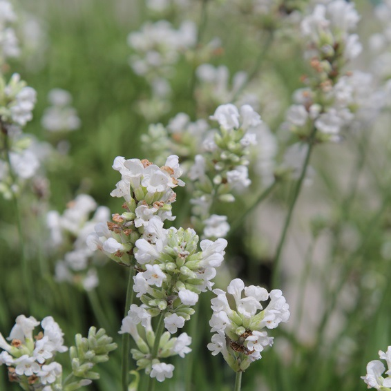 White Lavender and Cotton Fragrance Oil