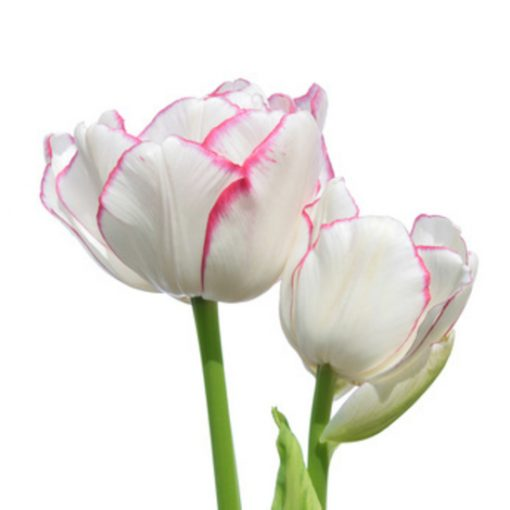 White Tulip Fragrance Oil