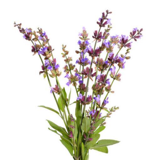 Clary Sage Fragrance Oil