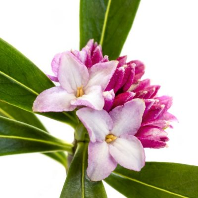 Daphne Fragrance Oil