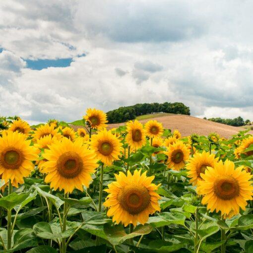 sunflower Fields Fragrance Oil