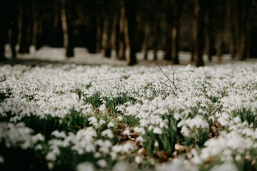 Snowdrop Blossoms Fragrance Oil