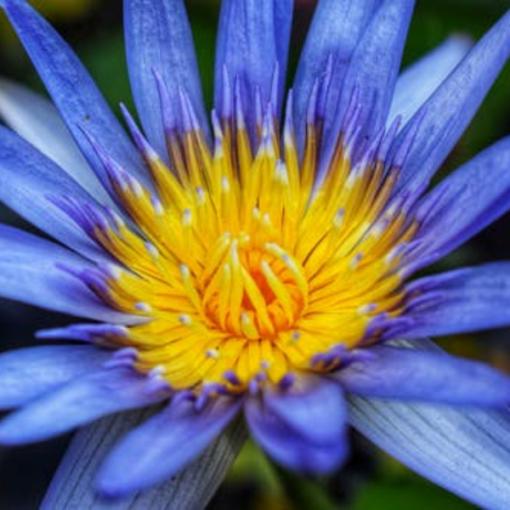 Blue Water Lotus Fragrance Oil